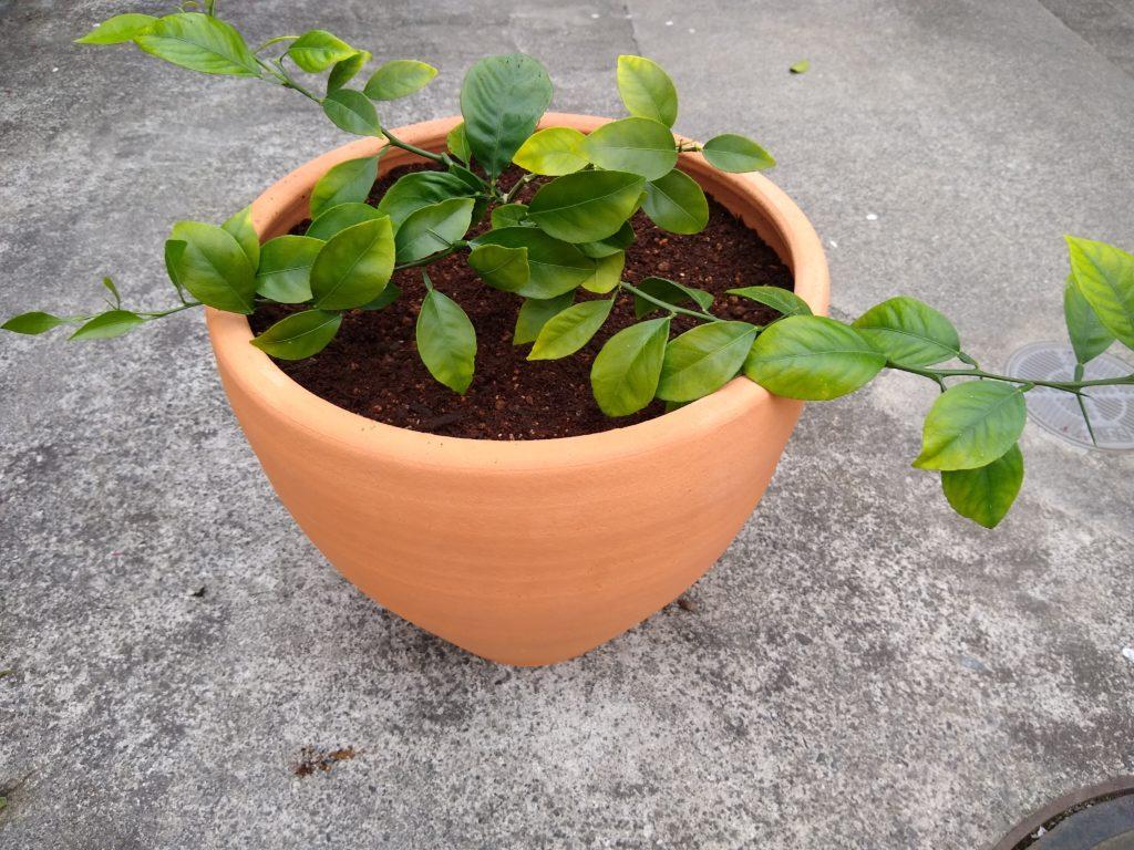 みかんを鉢植えにしてみた