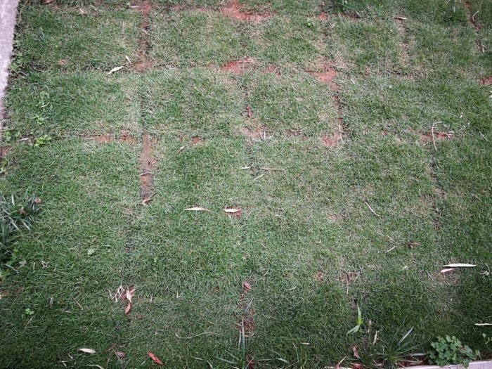 芝生の成長 1ヶ月