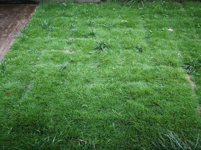 芝生の成長 もうすぐ2カ月