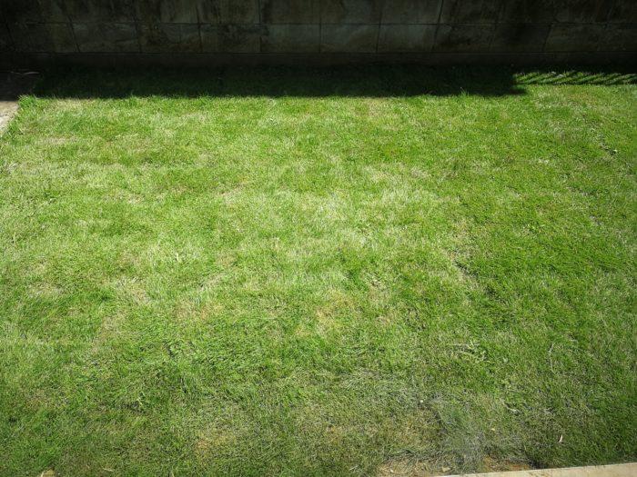 芝生の成長 2カ月