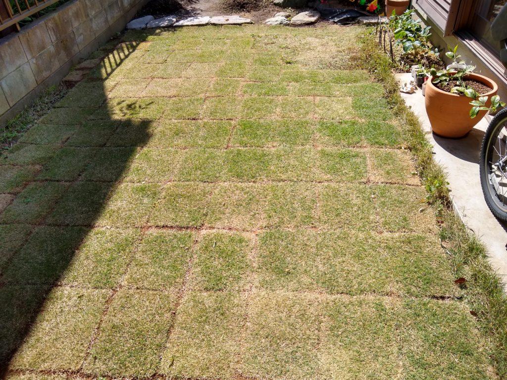 芝生 1ヶ月後