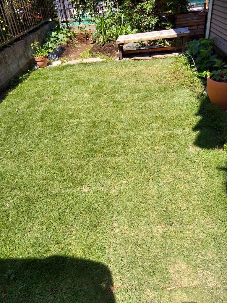 土改良後2ヶ月の芝生