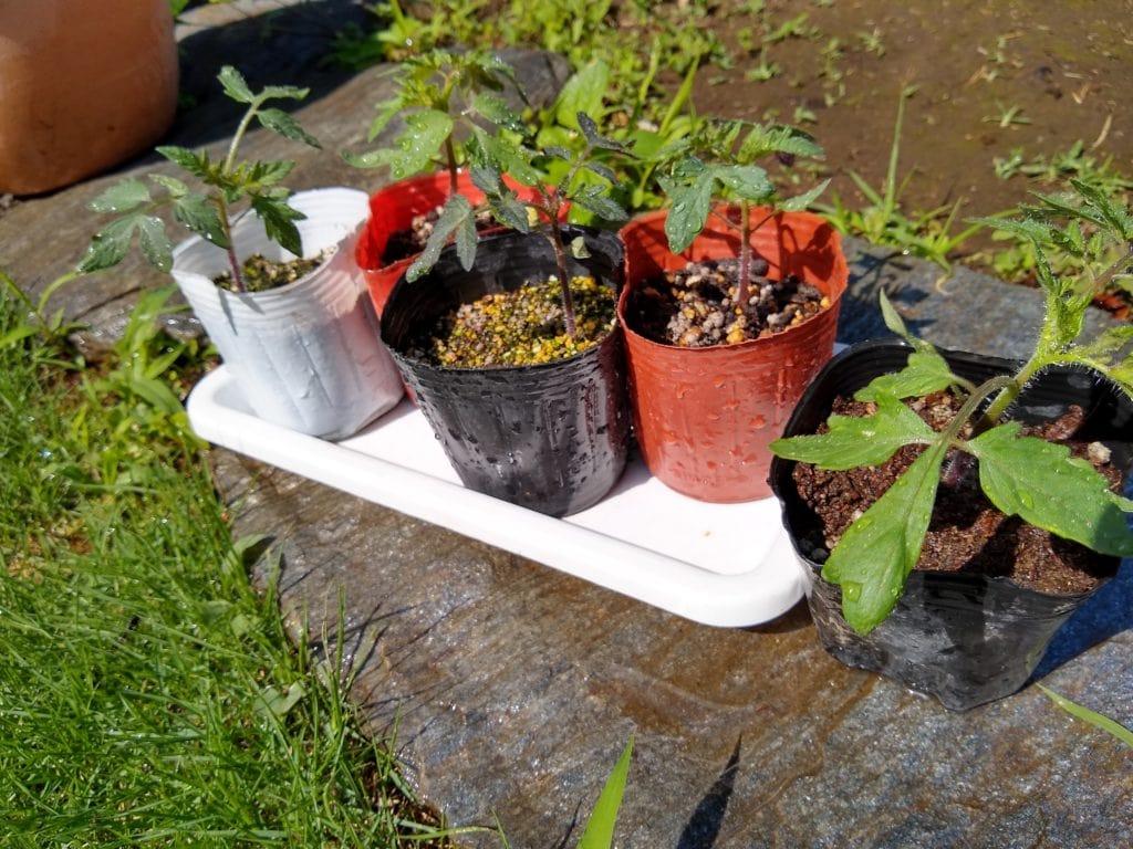 トマト 種から 成長