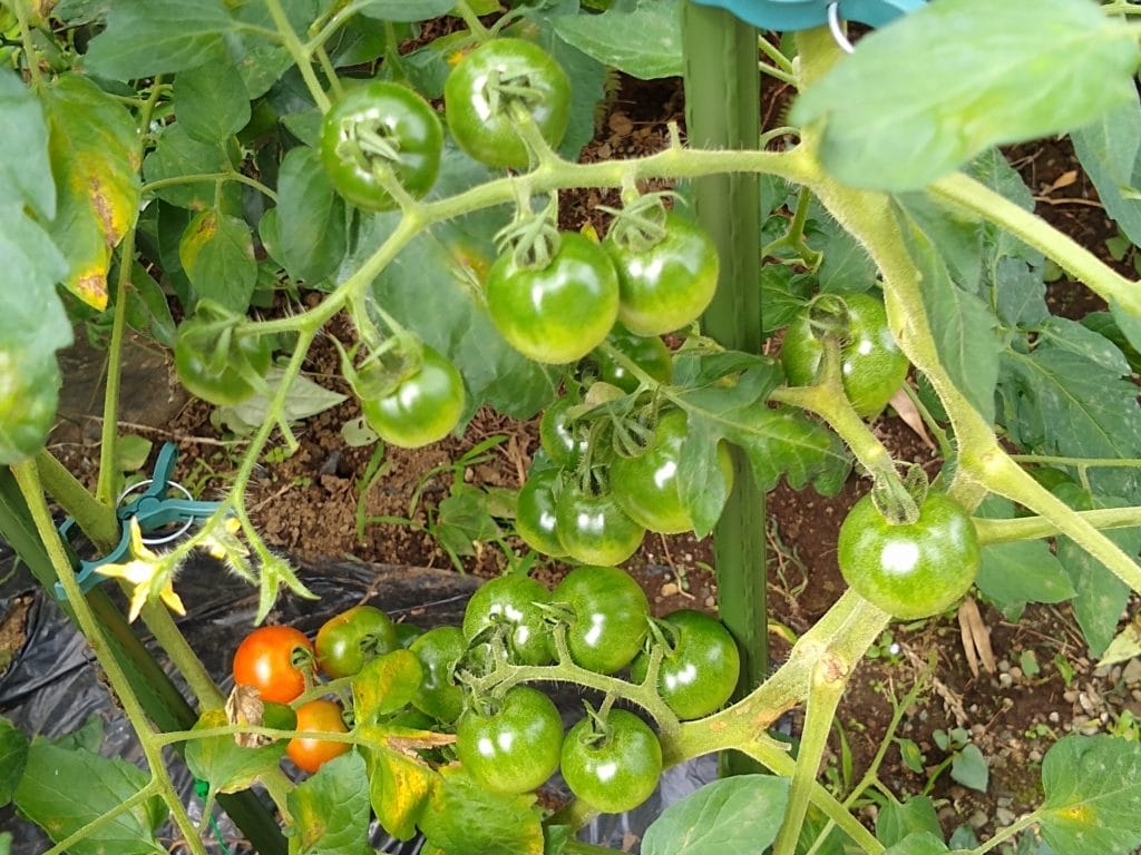 トマト 結実