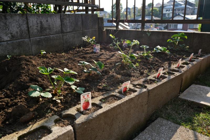イチゴの栽培
